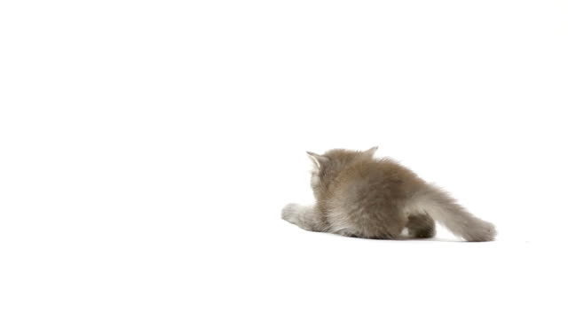 kot walka - kociak filmów i materiałów b-roll