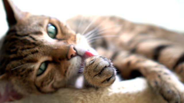4K Cat Grooming Bengal cat cleaning himself tabby cat stock videos & royalty-free footage