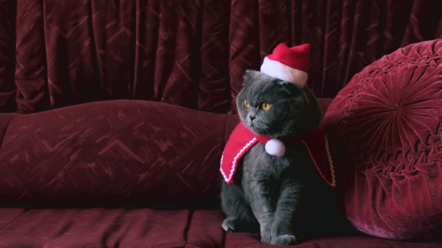 Cat in red Santa Claus hat celebrate Christmas and New Year. British cat with big yellow eyes sitting on sofa and looking in camera, closeup, macro