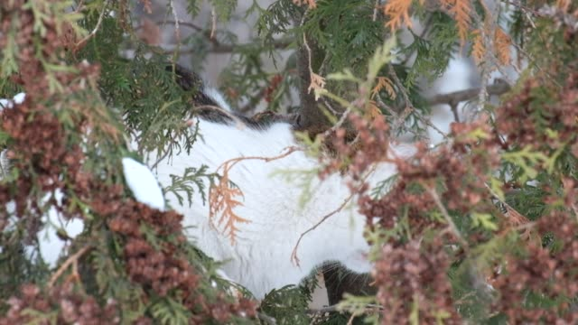 Cat in the branches of a thuja hunts a bird video