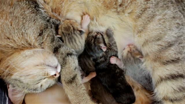 Cat is hugging her kittens asleep. video