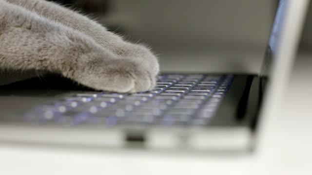 vídeos y material grabado en eventos de stock de gato está escribiendo texto en un ordenador portátil. - gato doméstico