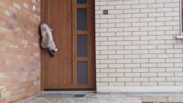 MS Cat jumping,opening front door Cat jumping,opening front door. Real Time. facade stock videos & royalty-free footage