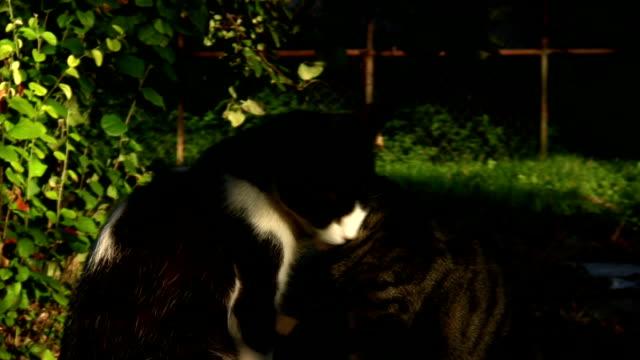 лизать kitty cat - кошка смешанной породы стоковые видео и кадры b-roll