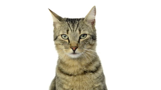 gatto guardando la telecamera e leccare le labbra - leccare video stock e b–roll