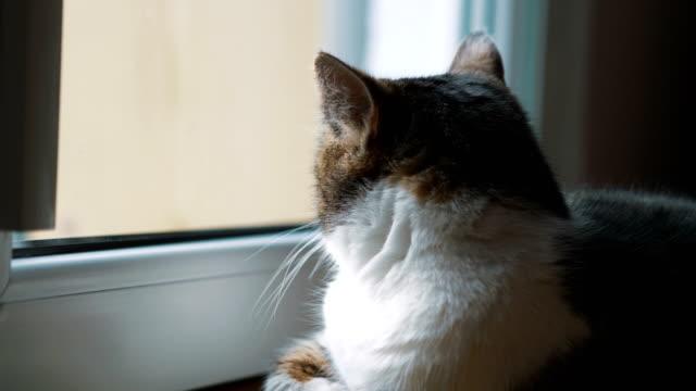 vídeos y material grabado en eventos de stock de gato mirando por la ventana en 4 k lenta 60fps - felino