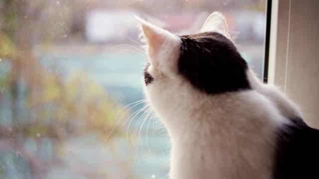 cat looks out window - davanzale video stock e b–roll