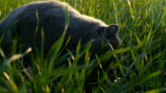 A cat of British breed walks in a park on green grass in the sun at sunset video