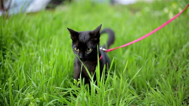 cat on a leash cat on a leash leash stock videos & royalty-free footage