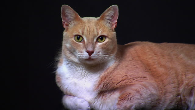 Cat on black  animal whisker stock videos & royalty-free footage