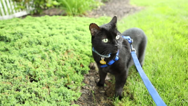 Cat on Leash Enjoying Outdoors An HD video clip of a black cat enjoying the outdoors and eating grass. leash stock videos & royalty-free footage