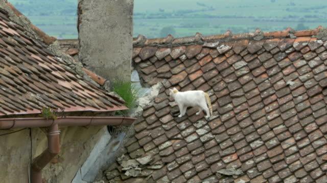 vidéos et rushes de chat sur le toit - ardoise