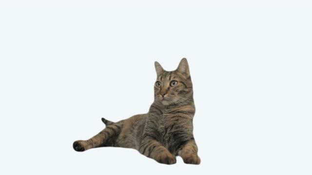 vídeos de stock, filmes e b-roll de gato em branco - felino