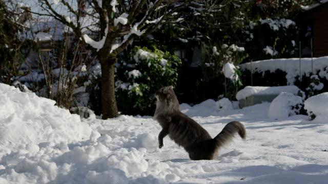 スローモーション: 猫新鮮な雪の中で遊ぶ - 飼い猫点の映像素材/bロール