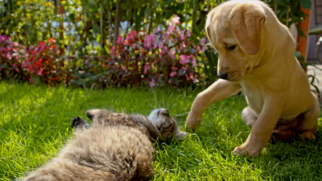 MS LA Cat Playing With A Puppy