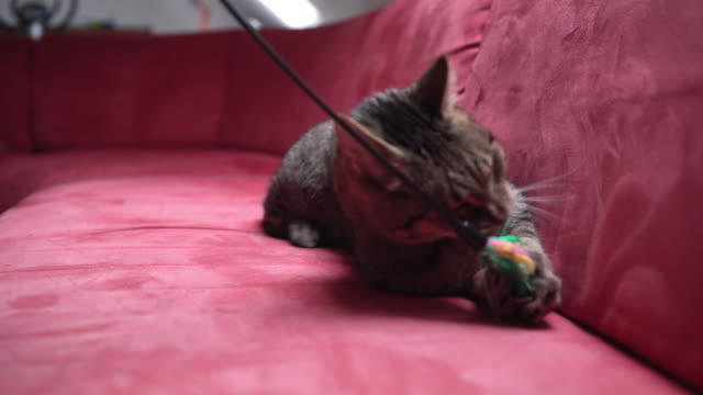 Cat playing with a toy indoors video
