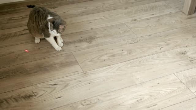 gatto che gioca con puntatore laser sul pavimento di legno - felino video stock e b–roll