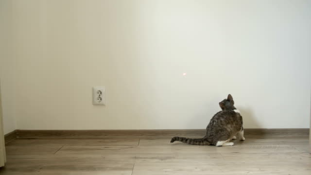 Cat playing with laser pointer video