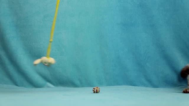 vídeos y material grabado en eventos de stock de gato jugando con juguetes de conejito poco - vibrisas