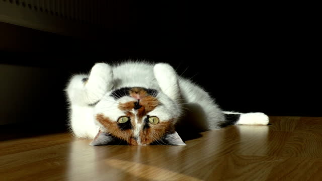 Cat playing with sun ray on wooden floor White calico cat with ginger and black spots lying on wooden floor is trying to catch a spot light.Low angle view,dark background tortoise shell stock videos & royalty-free footage