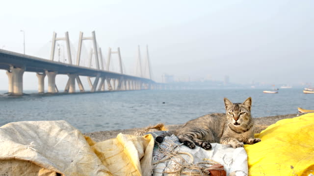 A cat resting on a dock against modern cable stayed bridge video