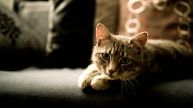 Cat resting on a sofa Cute, gray cat is enjoying the comfort of the sofa. tabby cat stock videos & royalty-free footage
