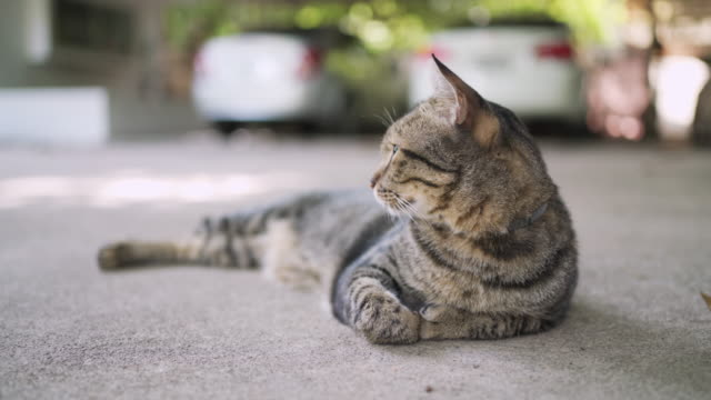 Cat resting outside with car background