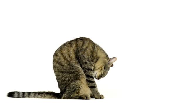 кошка сидит и очистка, а сама уходит - кошка смешанной породы стоковые видео и кадры b-roll