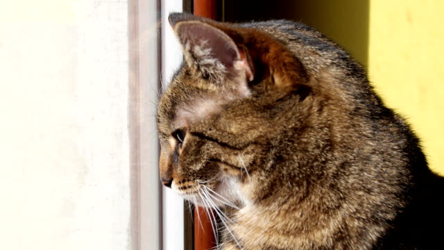cat sitting and looking throw the window cat sitting and looking throw the window tabby cat stock videos & royalty-free footage
