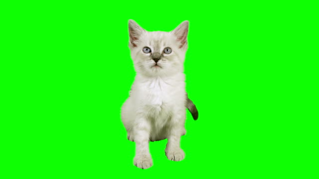 Cat Sitting Green Screen (HD) Siamese one month old kitten shot against green screen in a sitting position. Use your favorite green screen knock application and use anywhere. kitten stock videos & royalty-free footage
