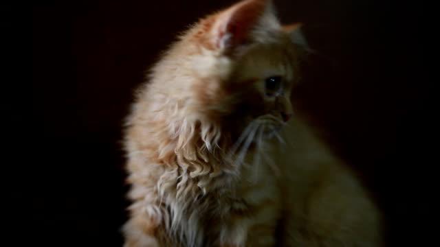 cat ラウンジのダークルーム - ネコ科点の映像素材/bロール