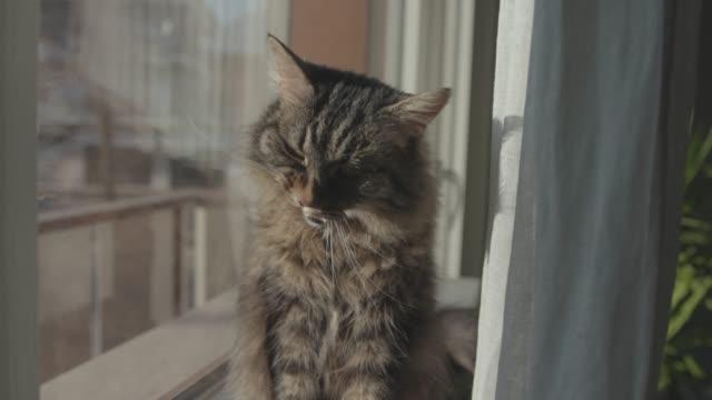 窓の隣に座って、身だしなみを整える猫 - ふわふわ点の映像素材/bロール