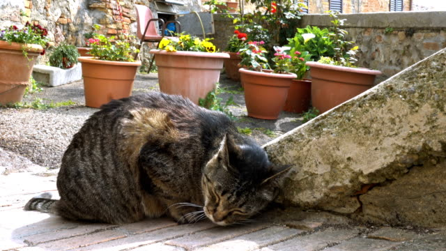 vídeos de stock e filmes b-roll de cat sitting on a empty cobblestone italian street with the blooming flowers pots - ivy building