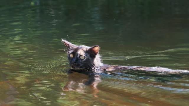 Cat Swimming in Water. Black Kitten Swims in River. Cat's Emotions. Slow motion