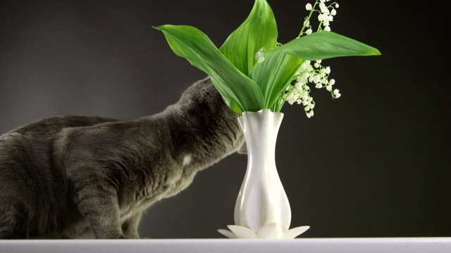 Cat trying to eat lily of the valley at home most toxic plant for cats video