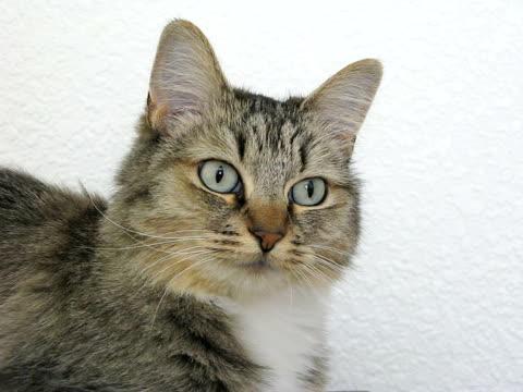vídeos y material grabado en eventos de stock de cat (ntsc - vibrisas