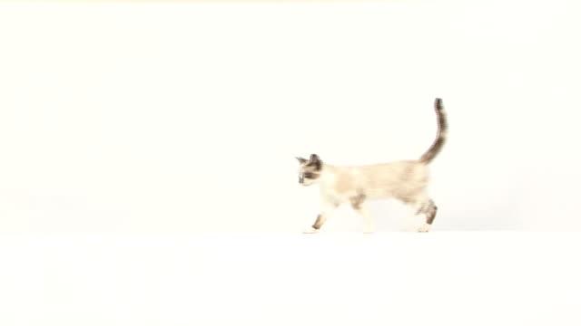 кошка ходьба, с которыми сталкиваются в камеру, а затем продолжается - кошка смешанной породы стоковые видео и кадры b-roll
