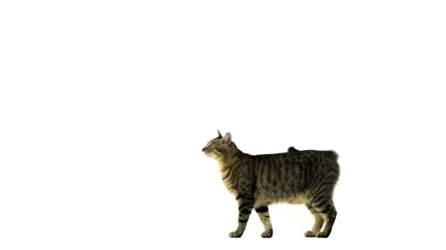 vídeos y material grabado en eventos de stock de cat pasos, mira a la cámara, s'encuentra a una distancia de paseos - gato doméstico