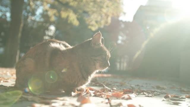 vídeos y material grabado en eventos de stock de calentamiento de gatos al sol, retroiluminado - felino