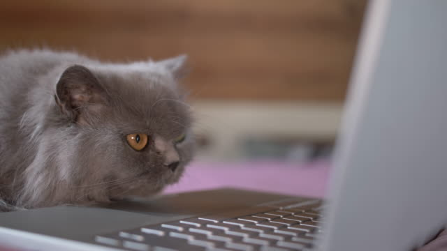 cat with a serious look is studying something on a laptop video