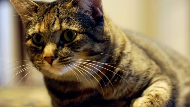 cat yawning & stretching - katt inomhus bildbanksvideor och videomaterial från bakom kulisserna