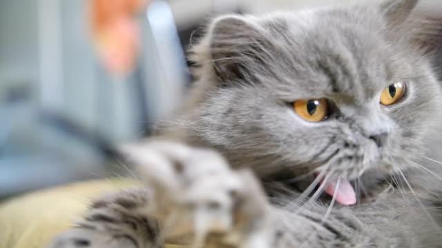 cat yawns slow motion, British blue cat lies and yawns close-up cat yawns slow motion, British blue cat lies and yawns close-up, have fun yawning stock videos & royalty-free footage