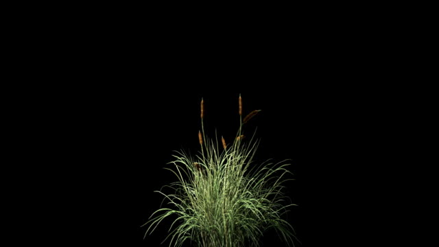 Catail grass in wind seamless loop, against black