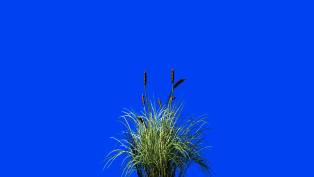 catail grass in wind seamless loop against blue screen - grass isolated video stock e b–roll