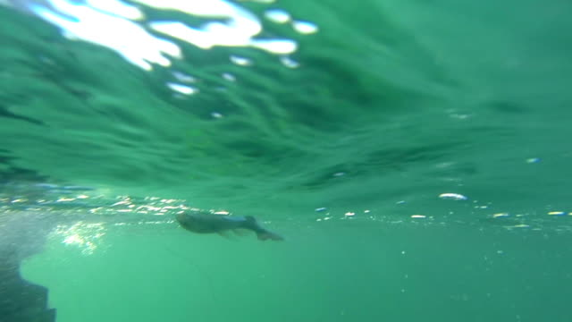 Catching a fish. (New Zealand Snapper.) Underwater and above water. video
