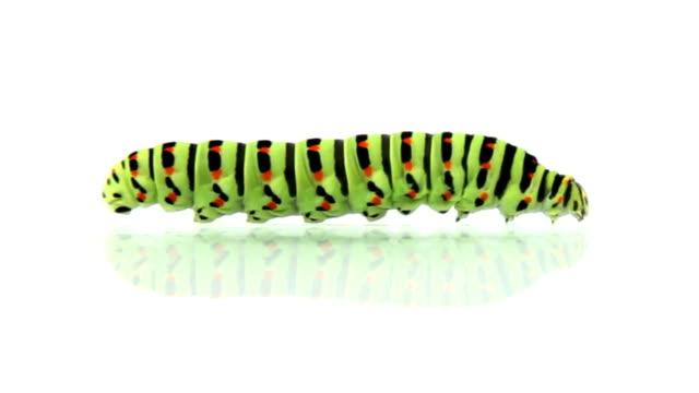 stockvideo's en b-roll-footage met caterpillar crawling, loopable - rups