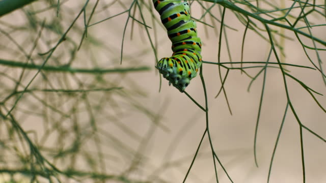 caterpillar of swallowtail butterfly on dill plant - farfalla ramo video stock e b–roll