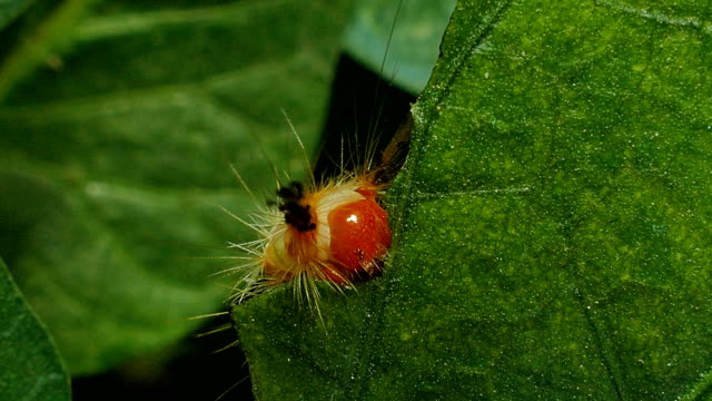 Caterpillar on a green leaves. Caterpillar eating green leaves in tropical rain forest. animal body stock videos & royalty-free footage