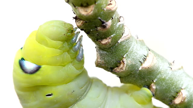caterpillar on branch A green caterpillar is hanging on branch and preparing for eating. larva stock videos & royalty-free footage