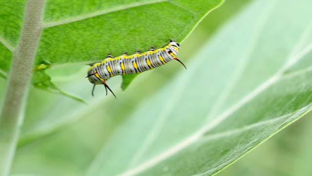 stockvideo's en b-roll-footage met caterpillar op groen blad - rups